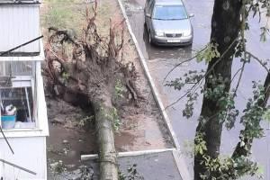 В Брянске возле Самолёта с корнями вырвало дерево