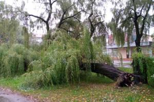 В Брянске возле колледжа искусств рухнула огромная ива