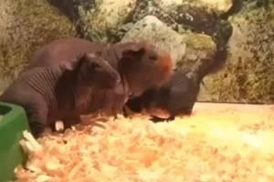 Бегемотов из брянского зоопарка показали на Первом канале