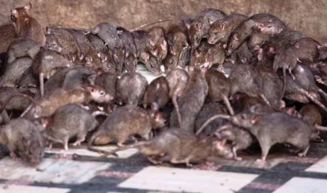 Детсад в Брянске оккупировали полчища крыс