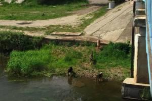 В Брянске мост на Набережной оккупировала стая собак