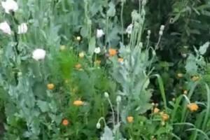 Брянские полицейские нашли 42 очага дикорастущих мака и конопли