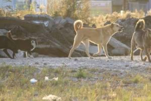 В Брянске бродячие псы затерроризировали улицу Снежетьский Вал