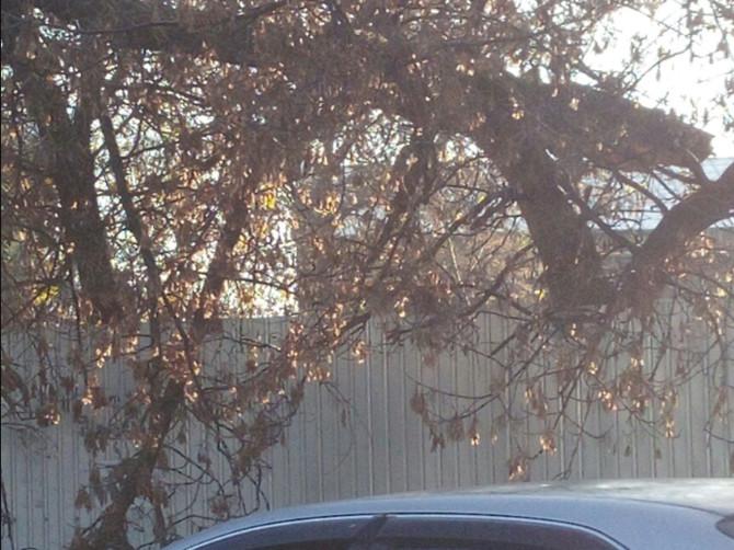 В Брянске заметили угрожающее людям дерево