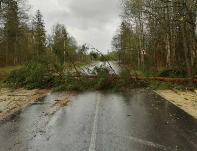 В Белых Берегах ураган повалил на дорогу дерево