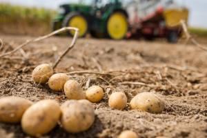 В Брянской области продолжила расти цена на картофель