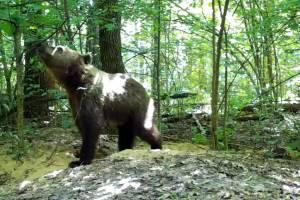 В фотоловушку «Брянского леса» попал медведь-подросток