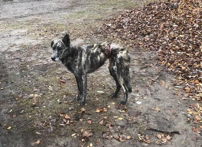 В Брянске попытались спасти истощенного пса с перетяжкой на животе