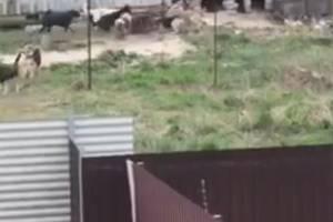 Огромная стая бродячих псов в Карачеве загрызла и растерзала собаку