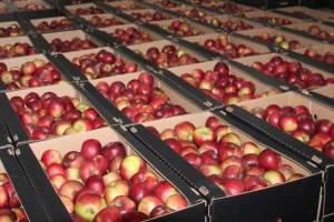 Фермер из Брасовского района собрал 150 тонн яблок