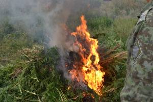 На Брянщине сожгли 1300 кустов конопли