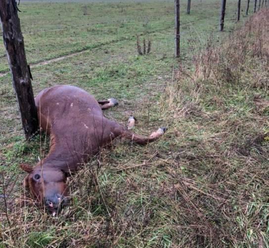 Под Клинцами нашли труп лошади с огнестрельным ранением