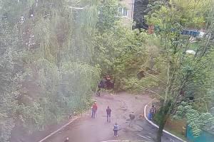 В Брянске на улице Костычева рухнуло огромное дерево