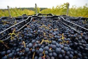 Брянский фермер решил открыть школу виноградарей