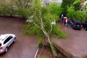 В Брянске рухнуло дерево во дворе многоэтажки по улице Софьи Перовской