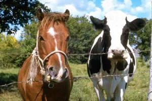 У брянских лошадей и коров не нашли бруцеллёза