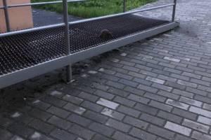 В Брянске многоэтажку на Крахмалева атаковали крысы