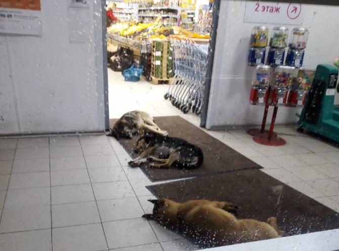 В Брянске на Новостройке псы оккупировали вход в супермаркет