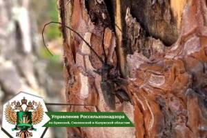 В Брянских лесах продлили карантин из-за заражения черными усачами