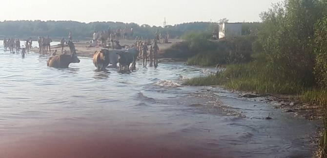 В Брянске пляж на Орлике заняли отдыхающие коровы