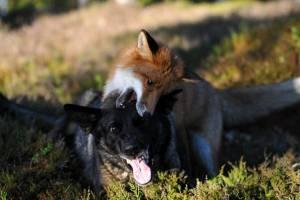 Под Унечей лиса заразила бешенством двух домашних собак