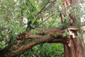 В Брянске на улице Советской ураганный ветер сломал дерево