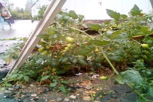 Под Брянском в Путёвке на асфальте зацвели помидоры