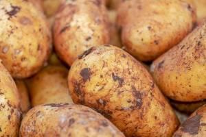 На брянских рынках цена молодого картофеля снизилась с 200 до 100 рублей