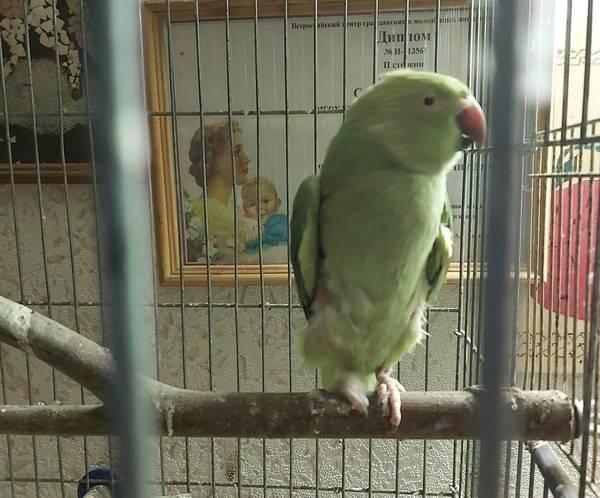 Брянская спасительница аистов приютила ожерелового попугая
