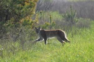 В брянском лесу сняли на фото краснокнижную рысь