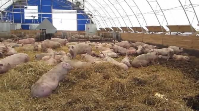 Незаконно разрешили строительство свинофермы навлинские чиновники