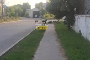 В Брянске сняли на фото стаю бродячих псов на Уральской