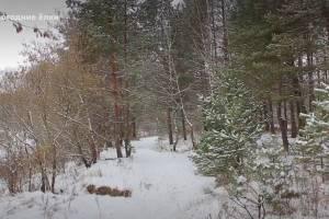 Как самостоятельно срубить елку в брянском лесу и сколько это стоит