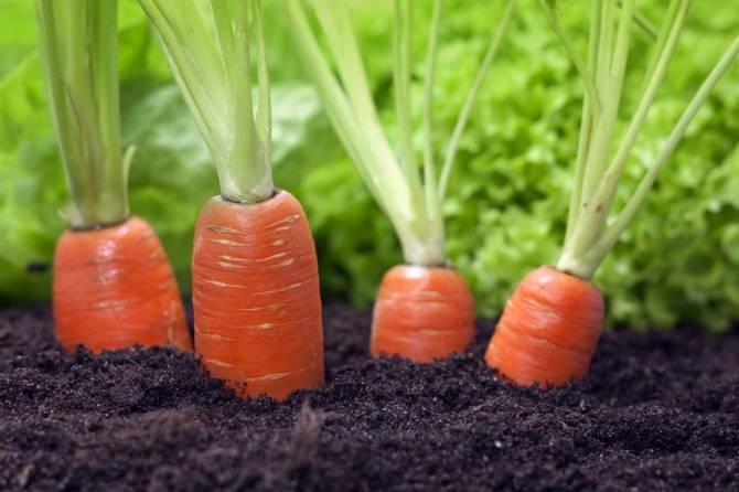 Брянцев возмутила морковь и свекла по 150 рублей