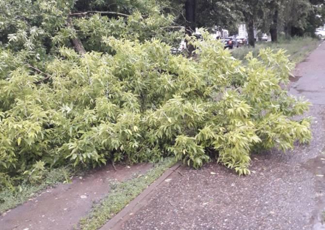 В Брянске на улице Медведева рухнуло дерево