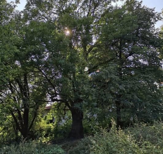 Брянский «Ясень-великан» претендует на звание «дерево года» в России