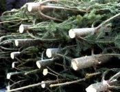 Брянщина снабдила регионы России новогодними деревьями