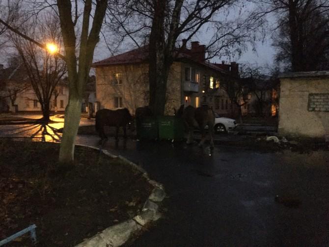 В Брянске сфотографировали кормежку лошадей из помойки