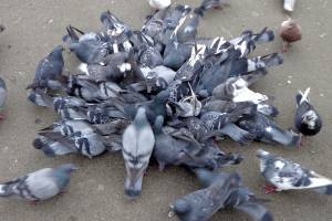 Фокинский район Брянска усыпали трупы голубей