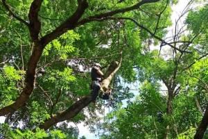 В Брянске убрали сломанную грозой ветку 300-летнего Ясеня-великана