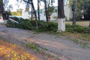 В Брянске ветер сломал огромную липу в районе мясокомбината