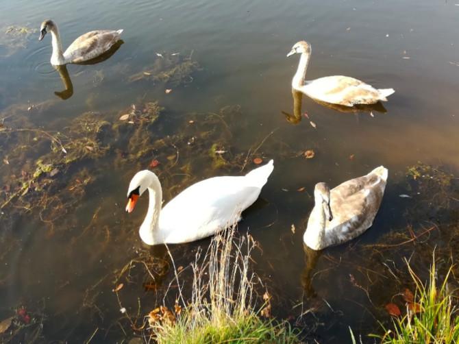 На озере в Дятькове неизвестные расстреляли лебедей