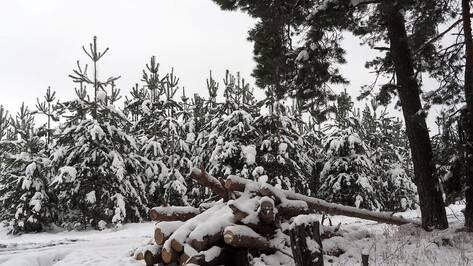 Жителю Почепского района грозит колония за незаконную вырубку 5 сосен