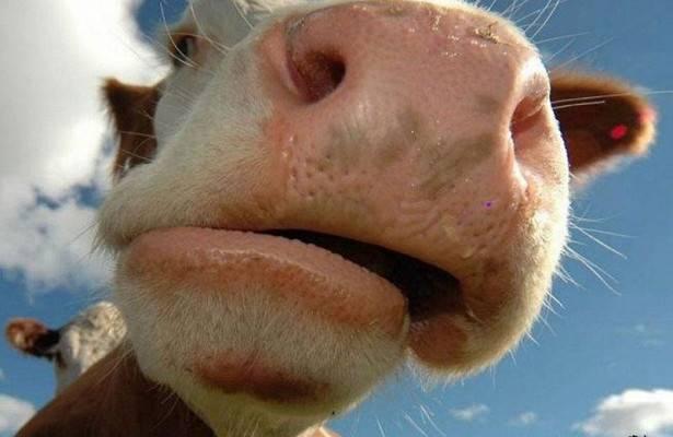 Под Погаром иномарка сбила корову
