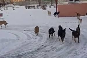 В Брянске стая бродячих собак захватила вход в детскую поликлинику