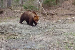 В «Брянском лесу» медведи полезли в драку