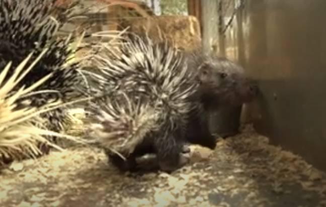В брянском зоопарке новорожденные дикобразы обросли иголками