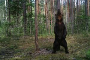 В заповеднике «Брянский лес» фотоловушка поймала делавшего зарядку медведя