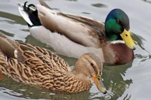 В Почепе перебили живших в городском парке диких уток