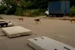 В центре Брянска сняли на видео стаю из 12 собак